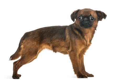 brussels griffon: Side view of a Petit Brabancon, isolated on white Stock Photo