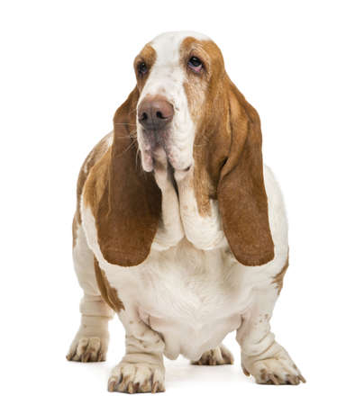 Basset Hound standing and looking away, isolated on white photo