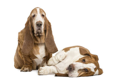 hounds: Two Basset Hounds sitting and lying, isolated on white Stock Photo