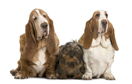 Two Basset Hounds and a Dachshund sitting, isolated on white photo