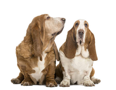 Two Basset Hounds sitting, looking at the camera and looking right, isolated on white photo