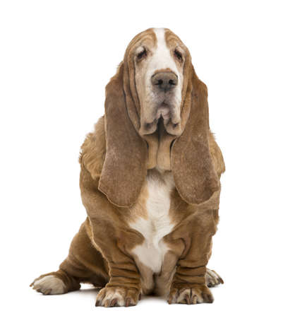 Old Basset Hound sitting, isolated on white photo