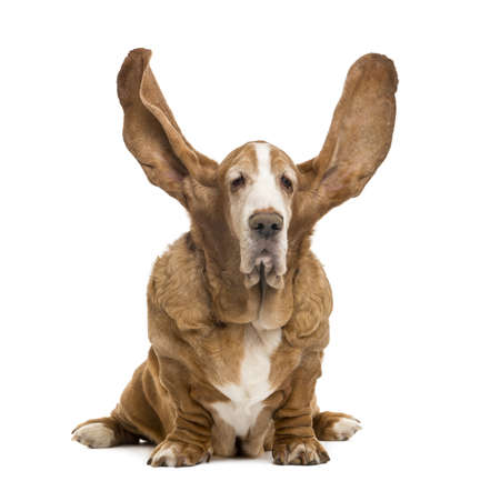 Old Basset Hound sitting with ears up, isolated on white photo