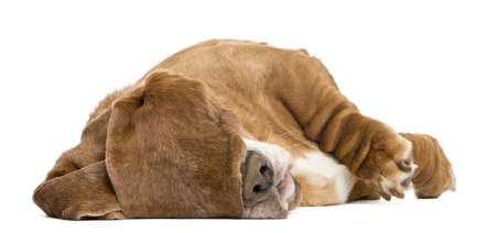 basset hound: Basset Hound lying and sleeping with its ears hiding its eyes, isolated on white