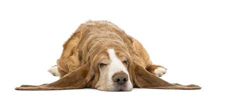 Basset Hound lying and sleeping, isolated on white photo