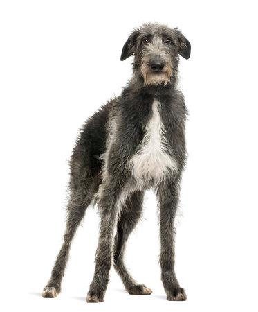 vertebrates: Scottish Deerhound looking at the camera, isolated on white