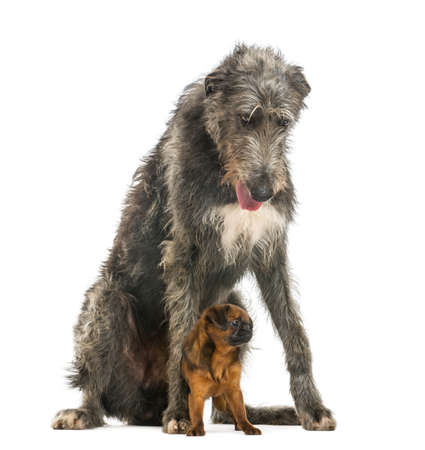 brussels griffon: Scottish Deerhound sitting over a Petit Brabancon, isolated on white