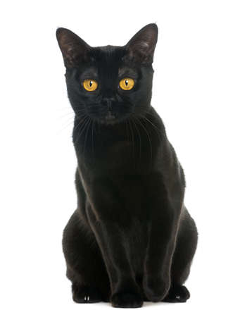 black cat: Bombay cat sitting and looking at the camera, isolated on white Stock Photo