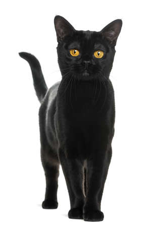 kitty cat: Bombay cat looking at the camera, isolated on white