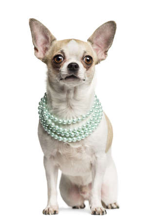 Chihuahua (2 years old) sitting and wearing a pearl necklace, isolated on white Stock Photo - 19002445