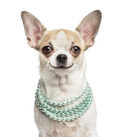 cane chihuahua: Primo piano di un Chihuahua sorridente (2 anni) che indossa una collana di perle, isolato su bianco