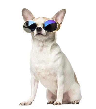 Chihuahua (2 años) sentado y con gafas de sol, aislado en blanco