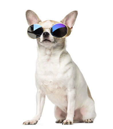 2 years old: Chihuahua (2 years old) sitting and wearing sunglasses, isolated on white