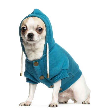 2 years old: Chihuahua (2 years old) sitting and wearing a blue hoodie, isolated on white