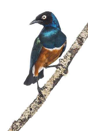 superb: Superb Starling on a branch - Lamprotornis superbus - isolated on white