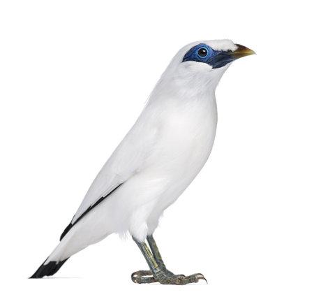 swift: Rothschilds Swift - Cypseloides rothschildi - isolated on white