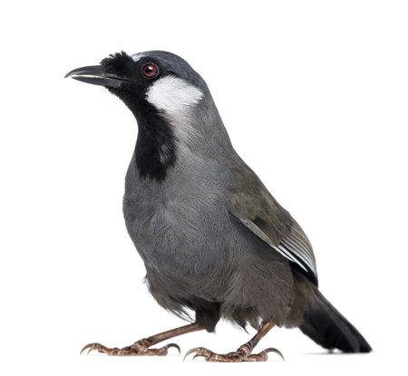garrulax: Black-throated Laughingthrush - Garrulax chinensis - isolated on white