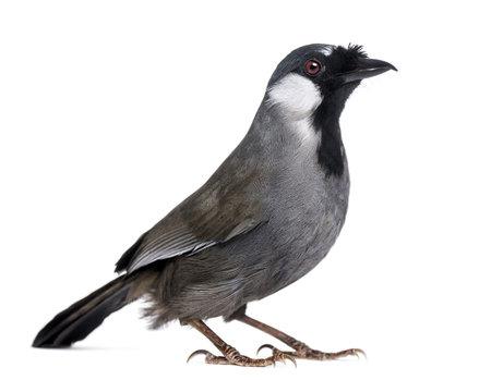 laughingthrush: Black-throated Laughingthrush - Garrulax chinensis - isolated on white