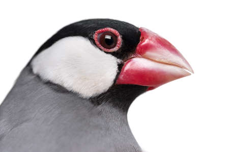 Close-up of a Java Sparrow- Padda oryzivora - isolated on white photo