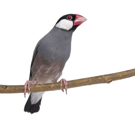 Java Sparrow perched on a branch and looking away - Padda oryzivora - isolated on white photo