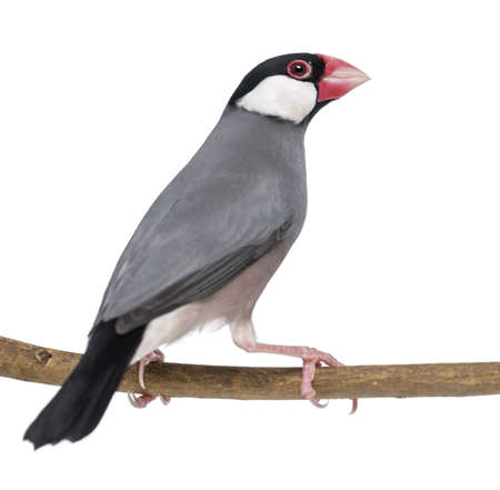 Java Sparrow perched on a branch- Padda oryzivora - isolated on white photo