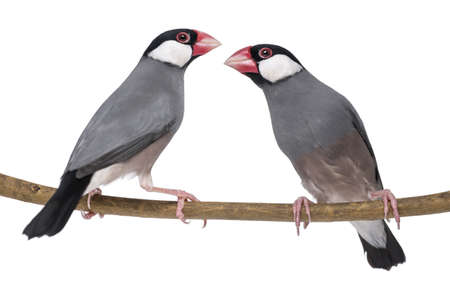 Two Java Sparrow perched on a branch- Padda oryzivora - isolated on white photo