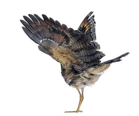 deployed: Rear view of a Sunbittern - Eurypyga helias - Isolated on White