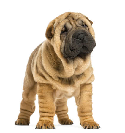 Front view of Shar pei puppy looking away (11 weeks old) isolated on white photo