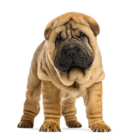 whelp: Front view of Shar pei puppy (11 weeks old) isolated on white