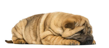 Shar pei puppy lying down (11 weeks old) isolated on white photo