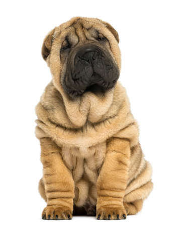 Shar pei puppy sitting (11 weeks old) isolated on white photo