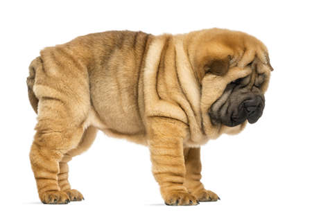 Side view of Shar pei puppy (11 weeks old) isolated on white photo