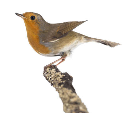 bird view: European Robin perched on a branch - Erithacus rubecula - isolated on white