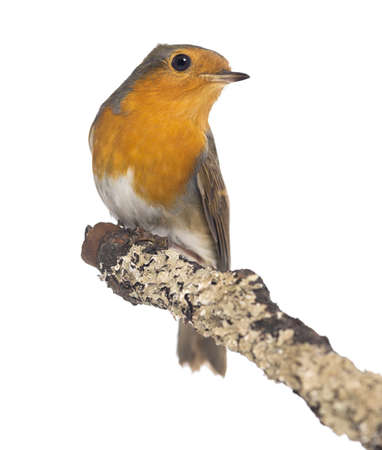 rubecula: European Robin perched on a branch - Erithacus rubecula - isolated on white
