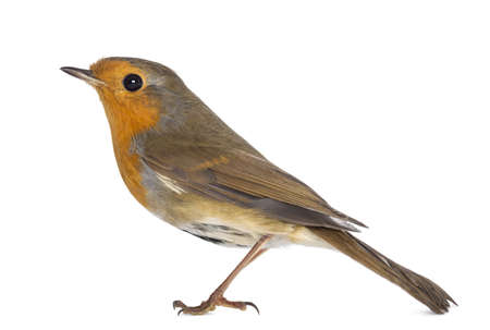 erithacus: European Robin - Erithacus rubecula - isolated on white