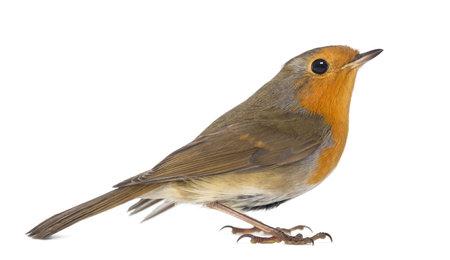 rubecula: European Robin - Erithacus rubecula - isolated on white