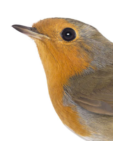 rubecula: Close-up on a European Robin - Erithacus rubecula - isolated on white Stock Photo
