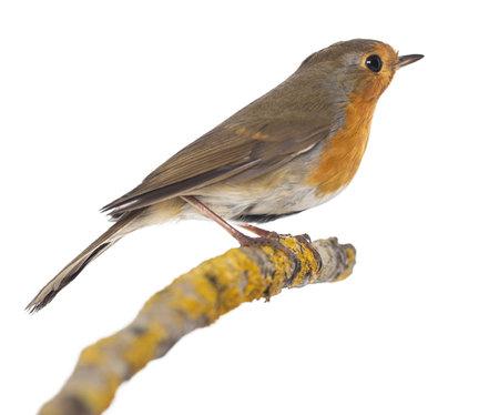 passerine: Robin europeo appollaiato su un ramo - pettirosso - isolati su bianco