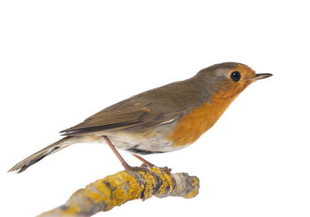 insectivorous: European Robin perched on a branch - Erithacus rubecula - isolated on white