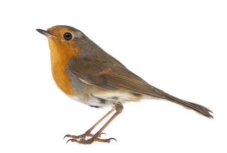 Robin européen - Erithacus rubecula - isolé sur blanc