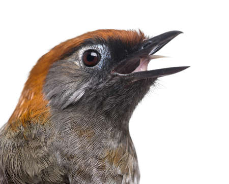 tweeting: Close-up of a Red-tailed Laughingthrush tweeting- Garrulax milnei, isolated on white
