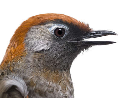 laughingthrush: Close-up of a Red-tailed Laughingthrush, side view - Garrulax milnei, isolated on white