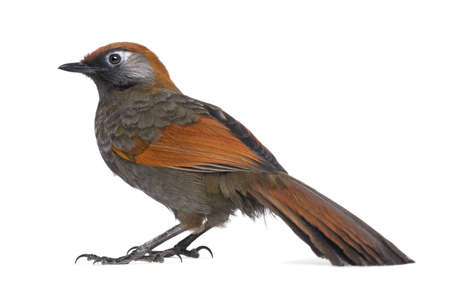 laughingthrush: Side view on a Red-tailed Laughingthrush - Garrulax milnei, isolated on white