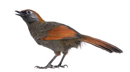 tweeting: Back view on a Red-tailed Laughingthrush tweeting, looking up - Garrulax milnei, isolated on white Stock Photo