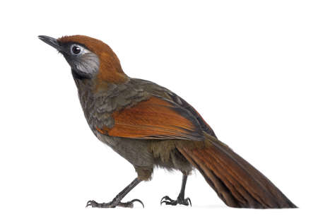 garrulax: Back view on a Red-tailed Laughingthrush - Garrulax milnei, isolated on white Stock Photo