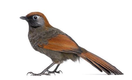 laughingthrush: Red-tailed Laughingthrush - Garrulax milnei, isolated on white
