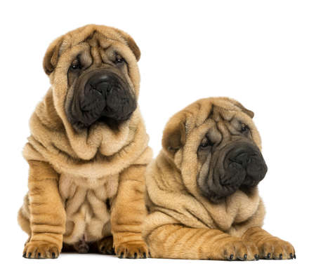 next to each other: Two Shar pei puppies sitting and lying next to each other, isolated on white