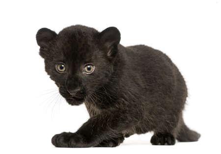prowling: Black Leopard cub, 3 weeks old, staring and prowling, isolated on white Stock Photo