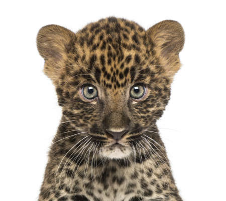 leopard head: Close-up of a Spotted Leopard cub starring at the camera - Panthera pardus, 7 weeks old, isolated on white