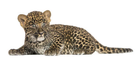 panthera pardus: Spotted Leopard cub lying down - Panthera pardus, 7 weeks old, isolated on white